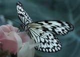 ...a butterfly flutters by|42